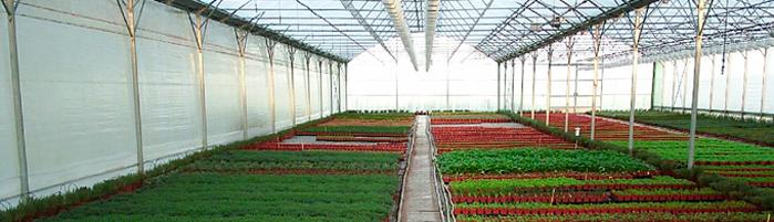 serre de plantes aromatiqe pépinière Deloulay
