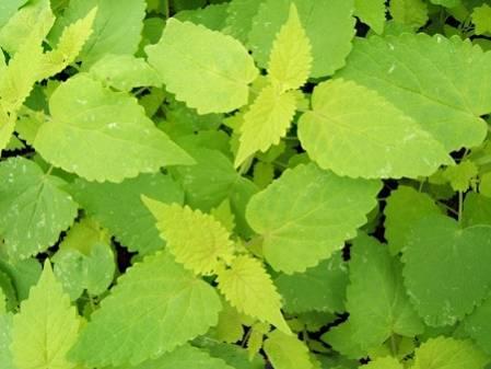 Agastache menthe à feuilles dorées