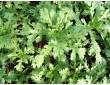 Chrysanthèmes à feuilles découpées
