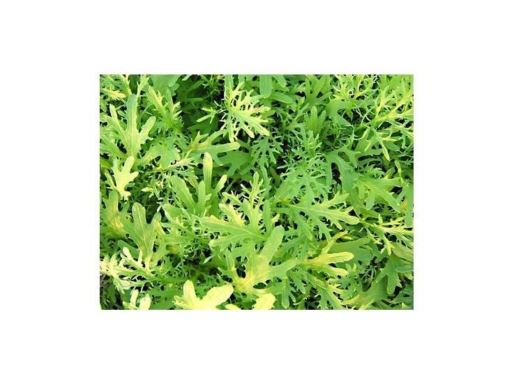 Moutarde verte à feuilles découpées
