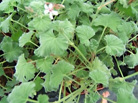 pelargonium g ranium odorant achat plant geranium aromatique. Black Bedroom Furniture Sets. Home Design Ideas