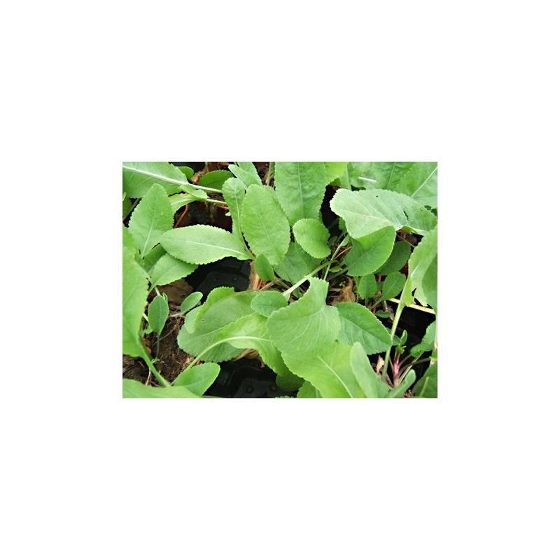 Grande balsamite en pot achat plante aromatique for Grande plante en pot