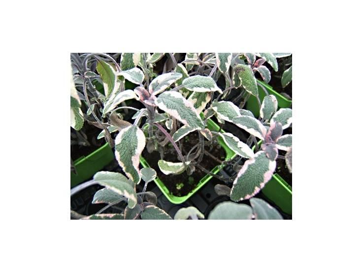 sauge tricolore en pot plante aromatique m dicinale aromatiques. Black Bedroom Furniture Sets. Home Design Ideas