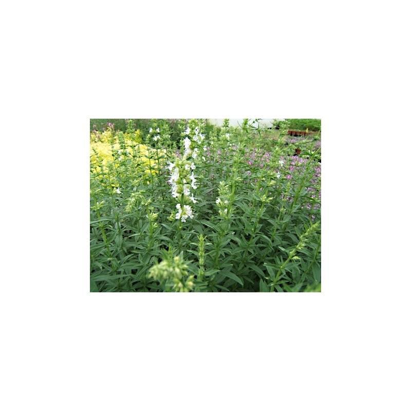 hysope blanche en pot plante m dicinale aromatiques. Black Bedroom Furniture Sets. Home Design Ideas