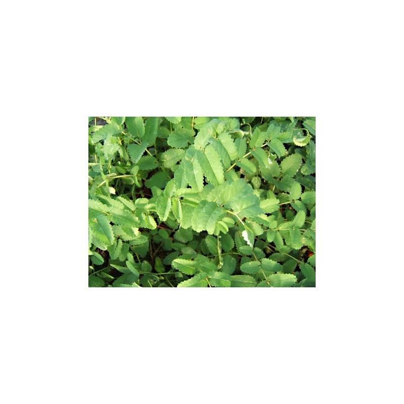 Grande pimprenelle en pot achat plante vivace aromatiques for Grande plante en pot