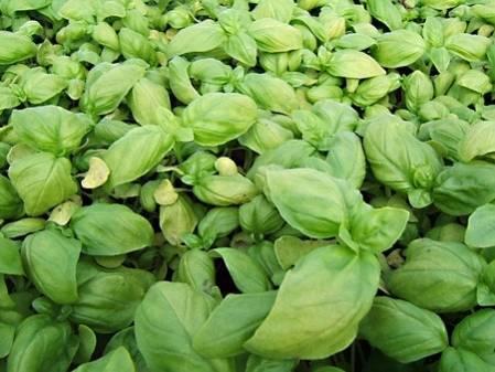 Lot de 3 basilics grandes feuilles et 3 basilics fin vert