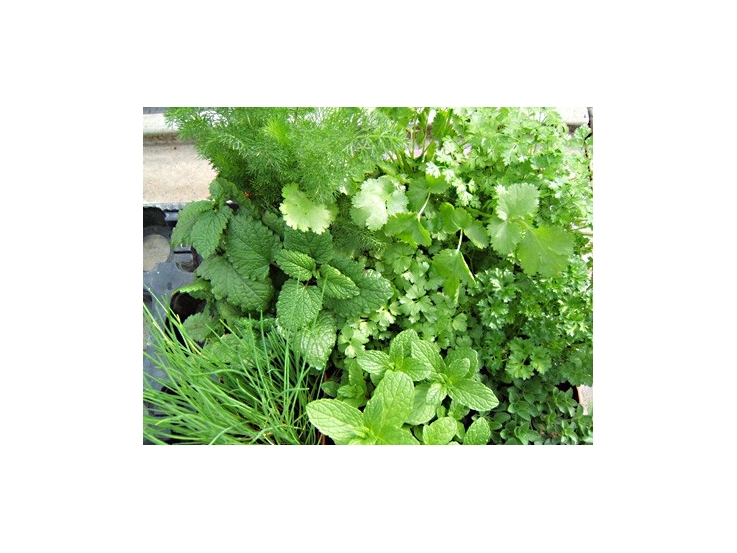 Assortiment de 9 aromatiques herbacées