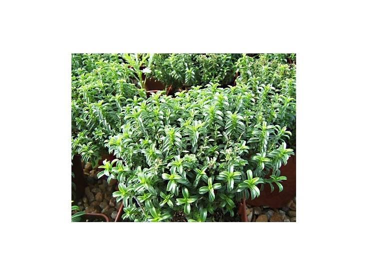 lot 12 sarriettes vivaces planter plantes aromatiques aromatiques. Black Bedroom Furniture Sets. Home Design Ideas