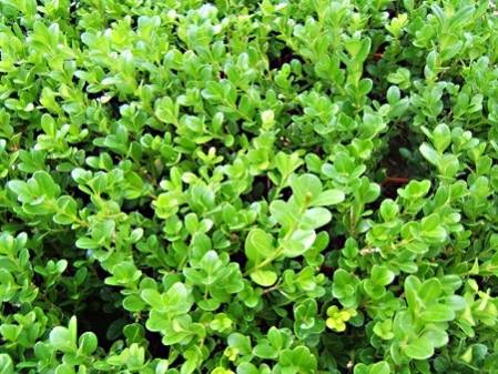 Lot 6 Buis à Bordure microphylla Faulkner