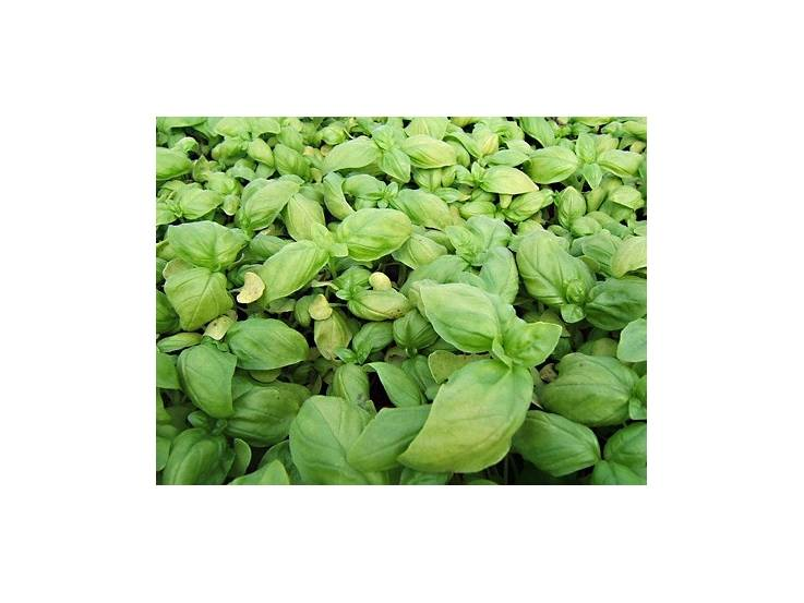 Basilic à grandes feuilles