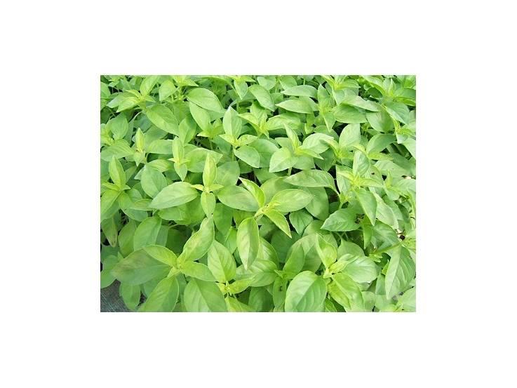 basilic anis planter basilic en pot aromatiques. Black Bedroom Furniture Sets. Home Design Ideas