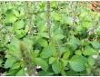 Basilic poivre