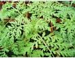Phacélie à feuilles de tanaisie