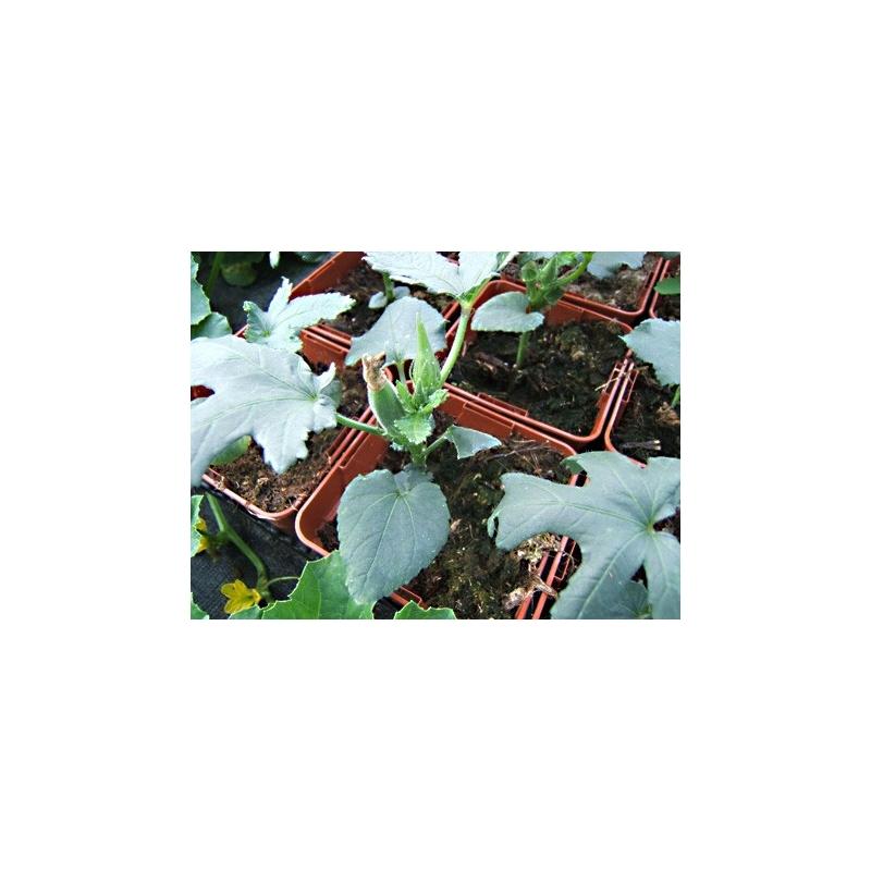 okra du mexique gombo planter plant l gumes aromatiques. Black Bedroom Furniture Sets. Home Design Ideas