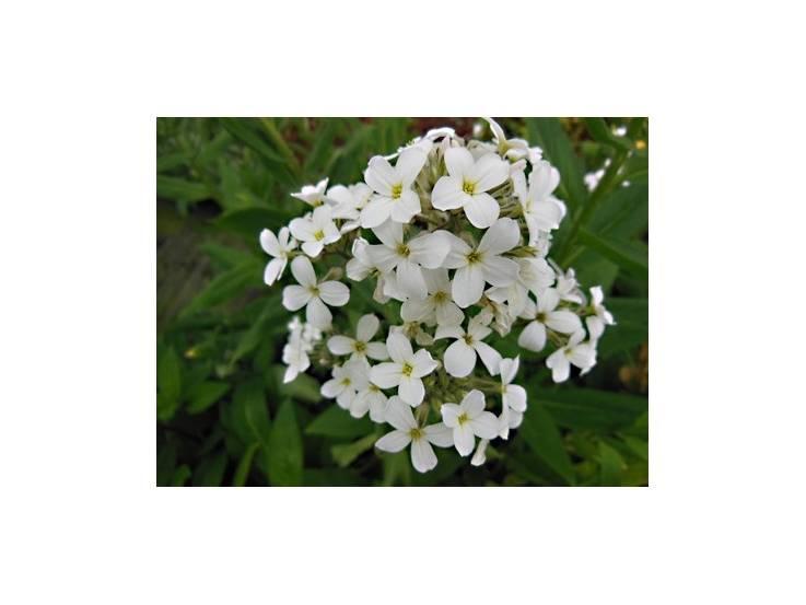 Julienne des jardins à fleurs blanches