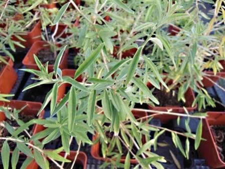 verbena verveine plante m dicinale achat plant verveine en pot. Black Bedroom Furniture Sets. Home Design Ideas