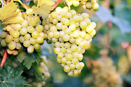 Vigne De Table Chasselas Dore En Pot De Fruit Aromatiques
