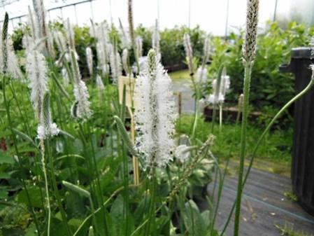 Fleur de plantain intermédiaire