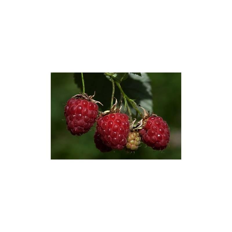 framboisier rouge zeva en pot plant fruit aromatiques. Black Bedroom Furniture Sets. Home Design Ideas