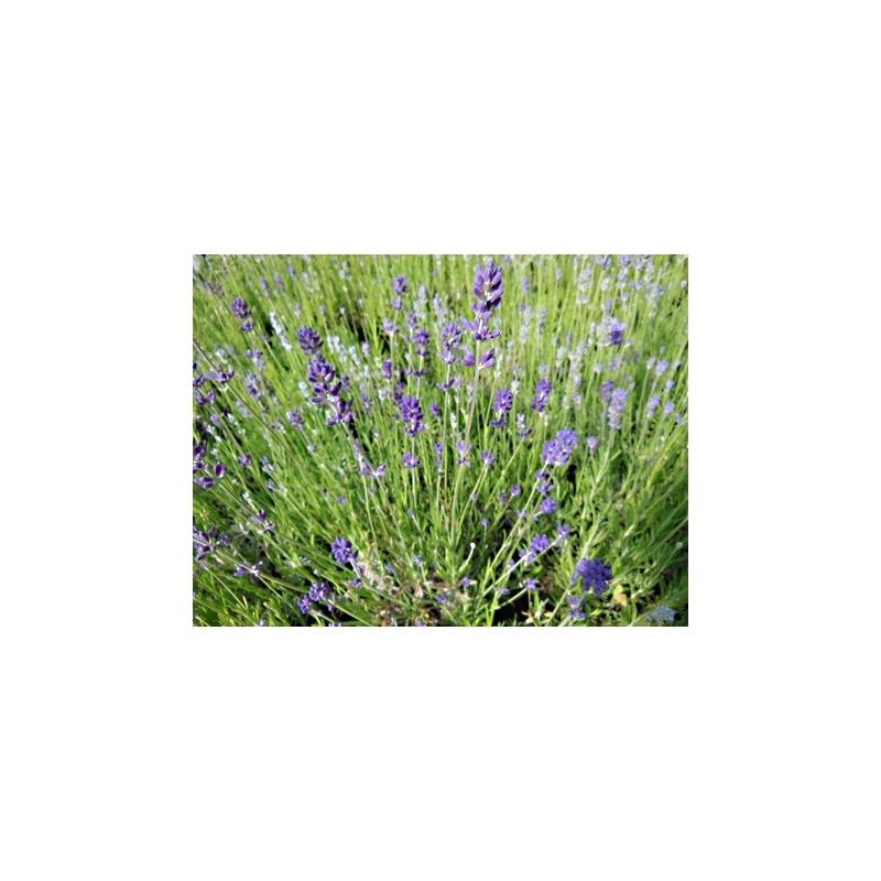 Lavande Vraie Bleue En Pot Acheter Plante Aromatique Aromatiques