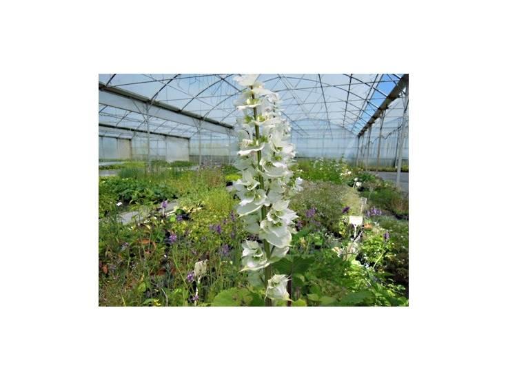 Sauge sclarée à fleurs blanches