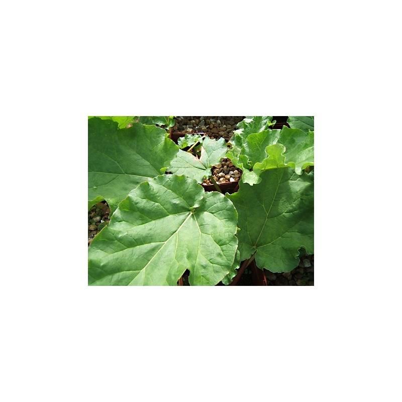 plant rhubarbe en pot achat plantes m dicinales aromatiques. Black Bedroom Furniture Sets. Home Design Ideas