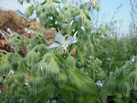 Bourrache à fleurs blanches