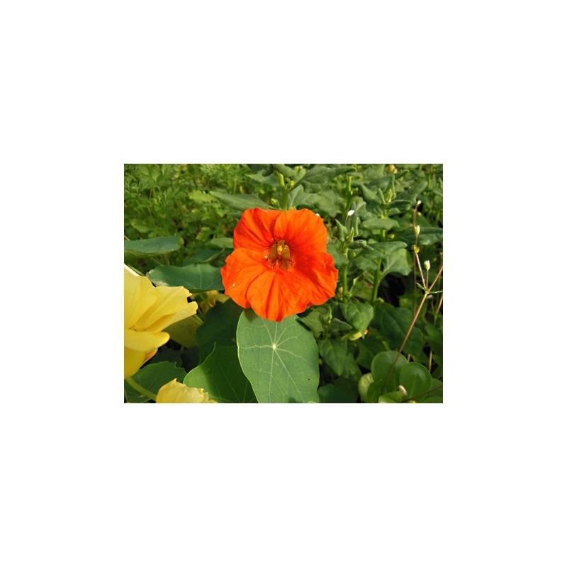 Plant Capucine En Pot Plante Capucine Aromatiques
