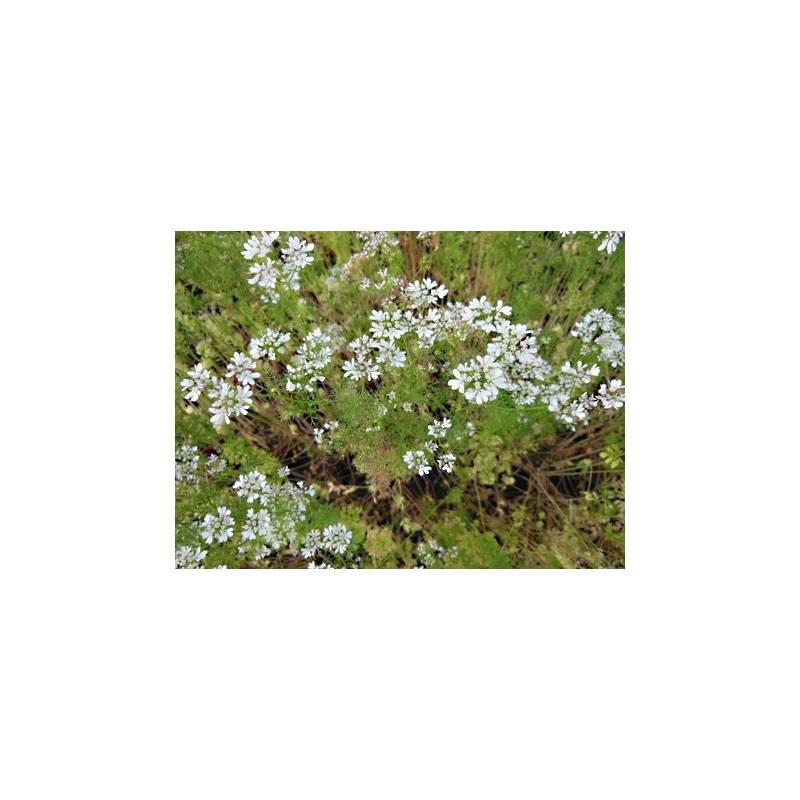 Plant coriandre en pot achat plantes aromatiques for Achat de plantes