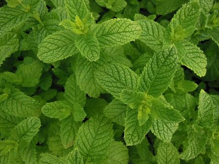 Menthe Verte Marocaine A Planter Menthe Verte En Pot Aromatiques