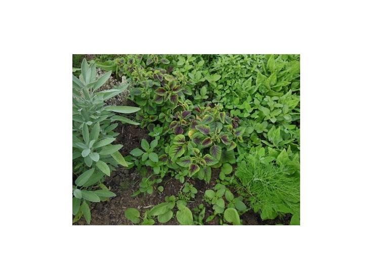 Amaranthe bicolore