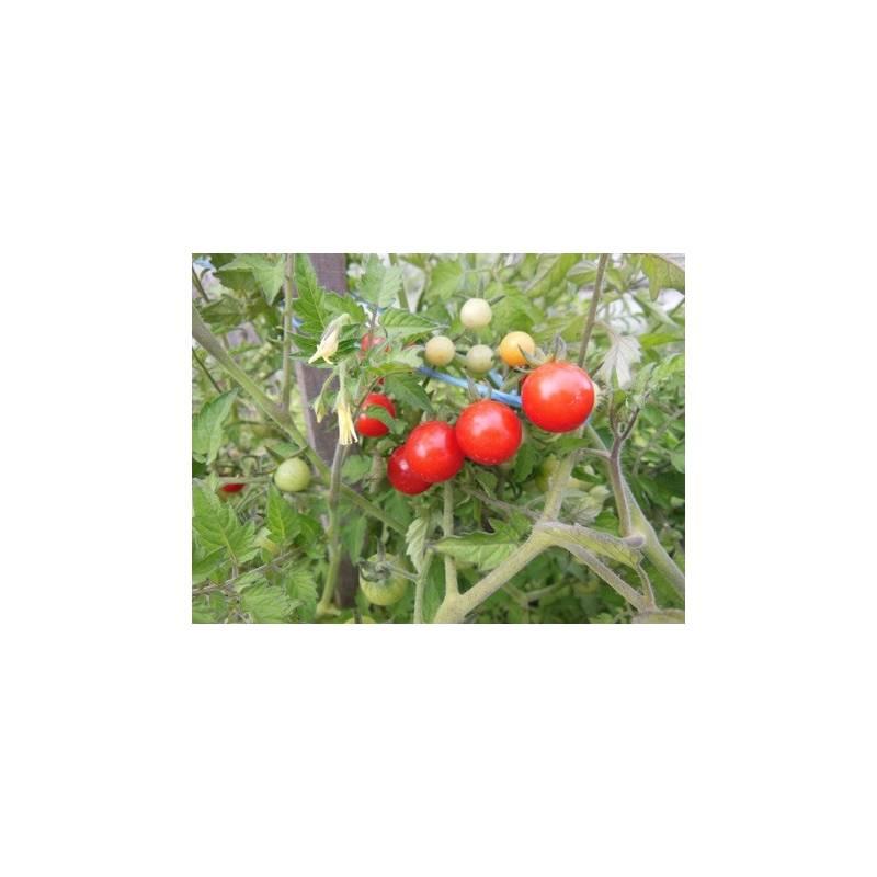 tomate cerise barbaniaka planter tomate jardin aromatiques. Black Bedroom Furniture Sets. Home Design Ideas