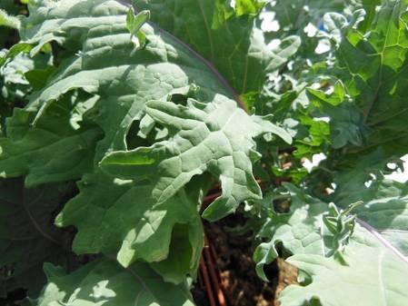 Chou Kale rouge de Russie