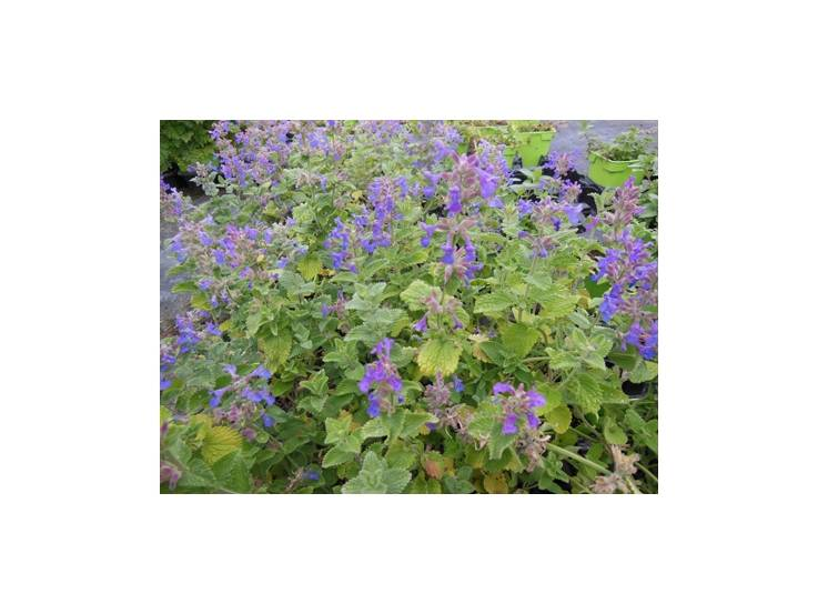 Herbe aux chats en pot acheter plante aromatique aromatiques - Herbe a chat plante ...