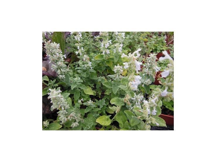 Herbe aux chats à fleurs blanches