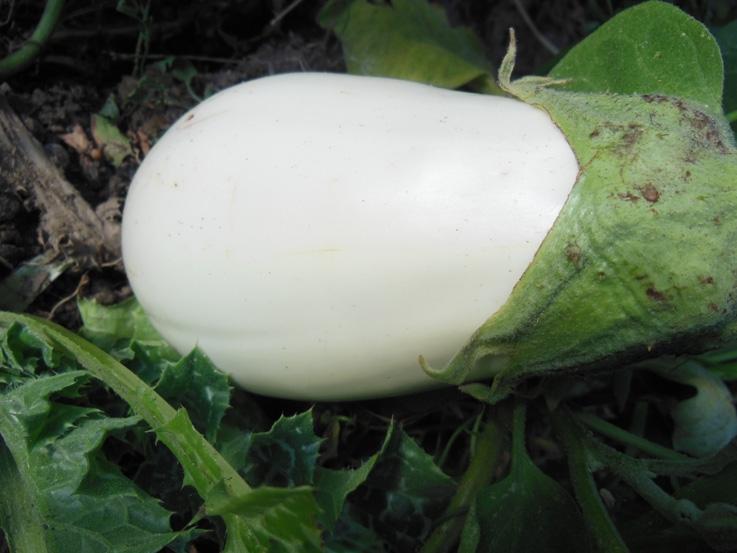 Aubergine blanche Clara