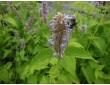 Agastache menthe, plante des pollinisateurs
