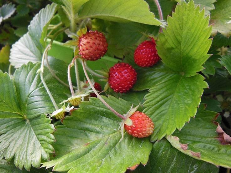Lot de fraises des bois