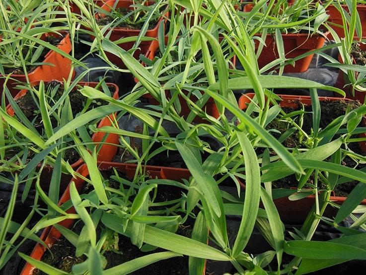 Gesse cultivée Marchigiana